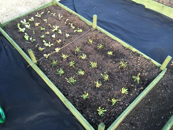 Rocket Gardens Vegetable Garden review - planted out